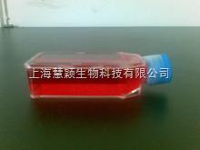 COV434细胞,人卵巢颗粒肿瘤细胞